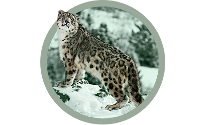 image of Snow Leopard.