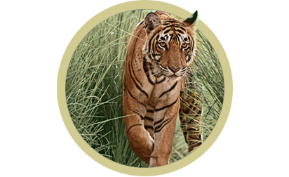 image of Tiger.